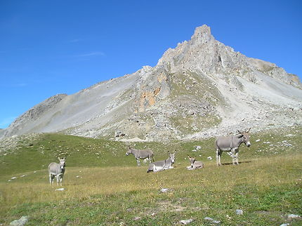 Les ânes du col de Larche