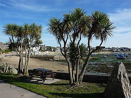Palmiers bretons sur l'île
