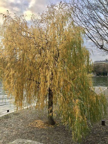 Le saule pleureur de feuilles dorées