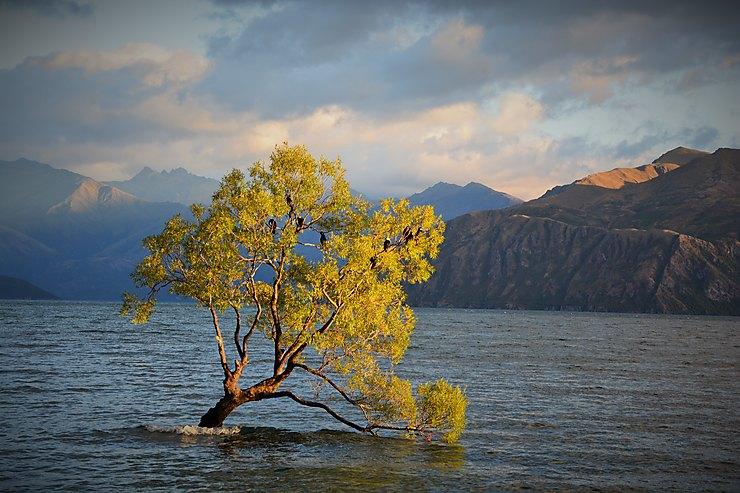 Arbre solitaire, Nouvelle-Zélande