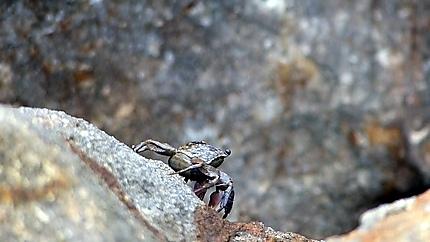 Petit crabe sur les rochers