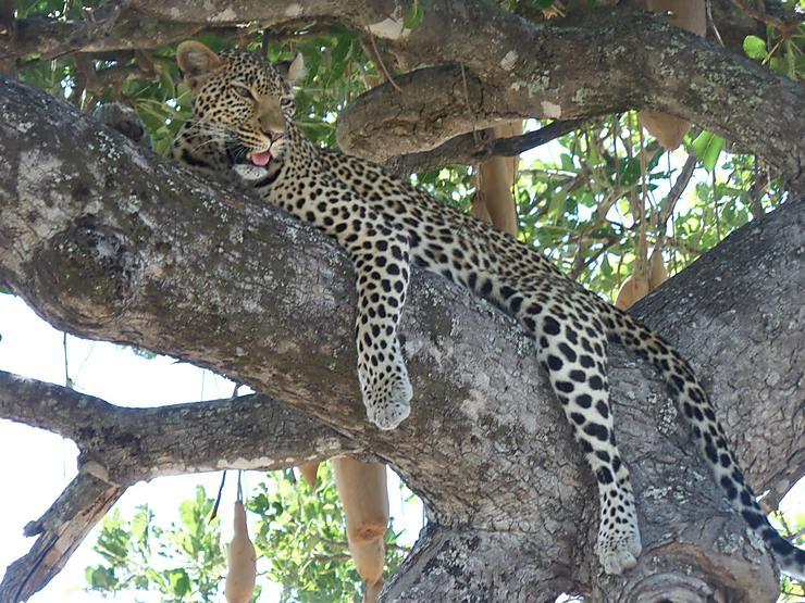 Léopard dans le Parc national de Ruaha, Tanzanie