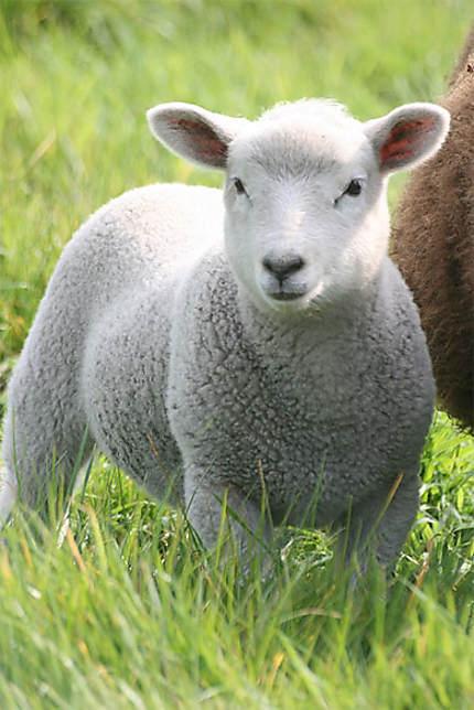 Un doux agneau