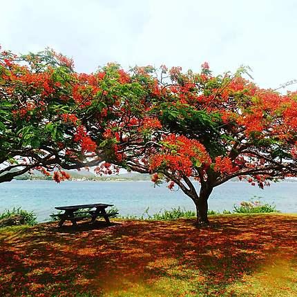 Flamboyants en fleurs, Martinique