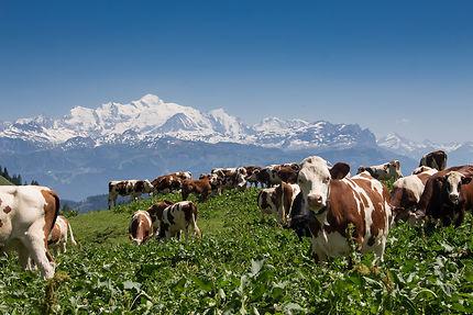 Alpage de Montbeliardes face au Mont Blanc
