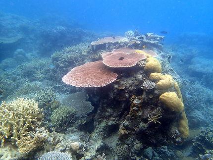 Fonds marins, corail dans les Îles Anambas
