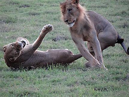 Couple de lions en pétard