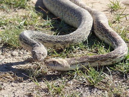 Serpents au Carlsbad Caverns National Park