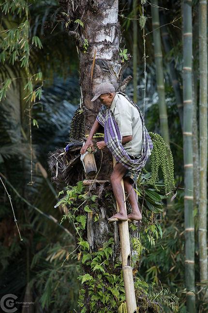 Récolteur d'alcool de palme au pays Toraja