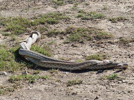 Danse des serpents au Nouveau-Mexique