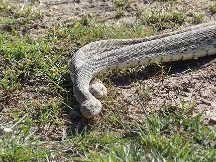 Serpents au Nouveau-Mexique