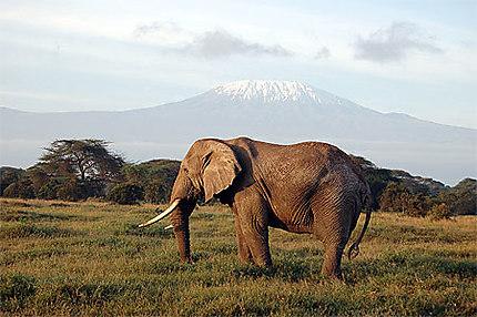 Eléphant au pied du Kili