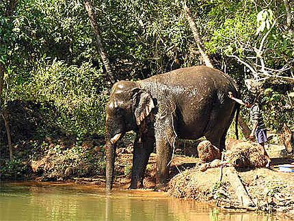 Elephant prenant son bain