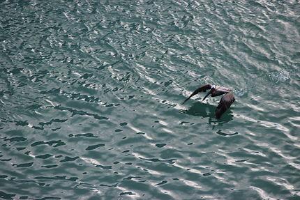 Albatros aux Caraïbes