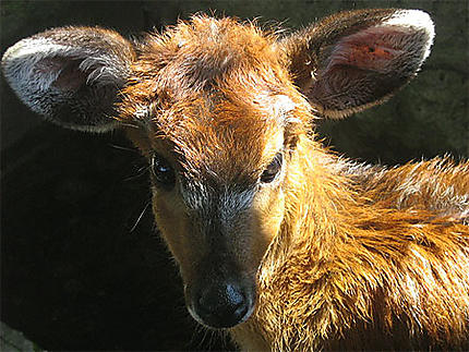 Impala bébé ??