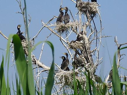 Nidification des oiseaux