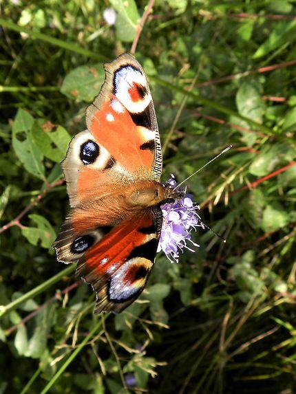 Papillon, Saint-Merd-la-Breuille
