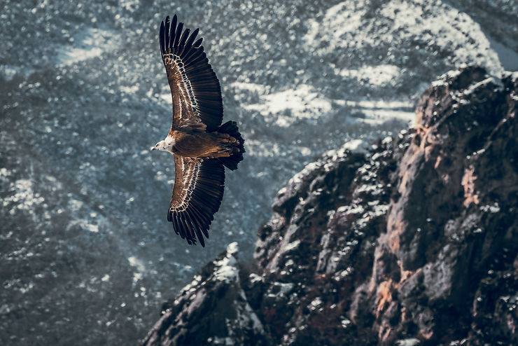 Le vautour fauve du Verdon, Provence