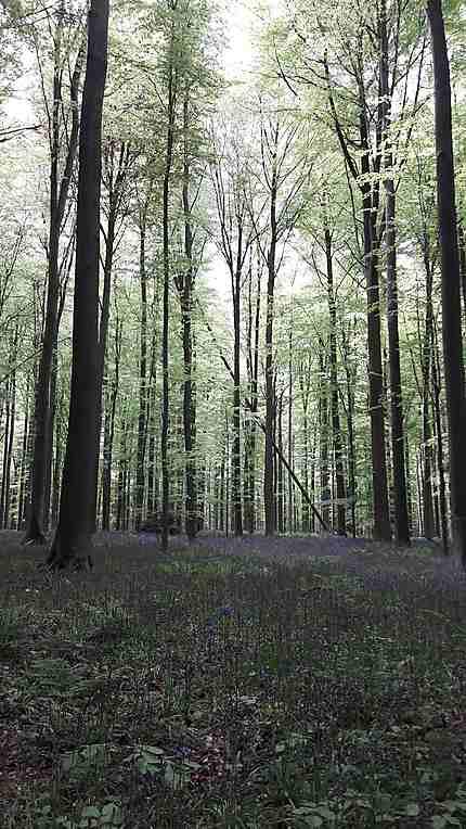 Jacinthes sauvages du bois de Hal