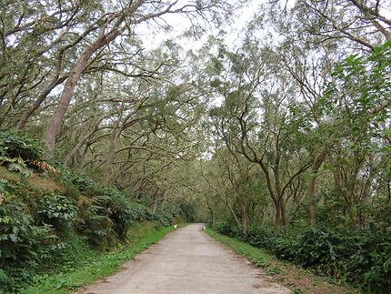 Route forestière des Tamarins