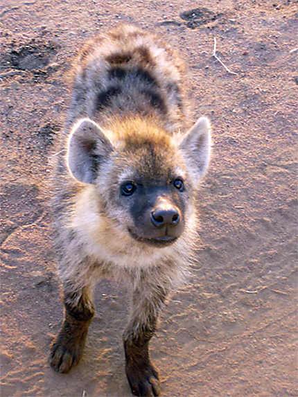 Une jeune hyène très curieuse