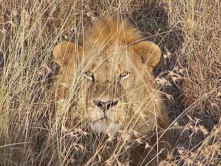 Lion dans la brousse