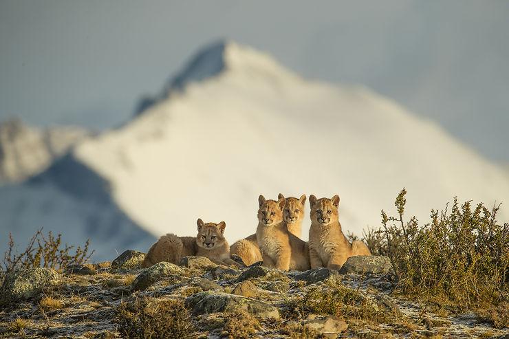 Jeunes pumas au Parc Torres del Paine, Chili