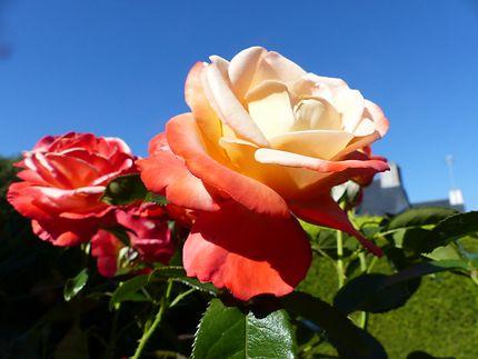 Les roses d'août