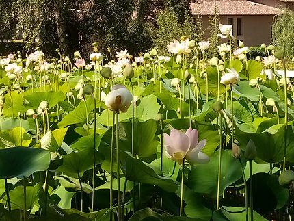 Lotus en fleurs