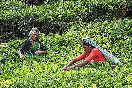 Cueilleuses de thé Tamoules