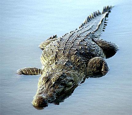 Crocodile - Mare de Sabou