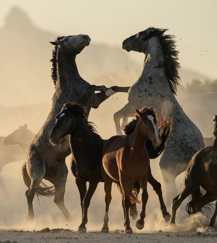 Etalons sauvages en Utah