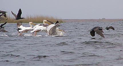 Lac Rosu - Un lourd envol