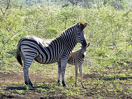 Zèbre et son petit - Réserve de Zulu Nyala