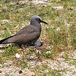 Noddi brun (Anous stolidus) ou macoua