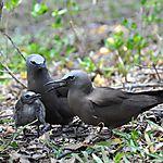 Noddis bruns ( Anous stolidus ), ou  macouas