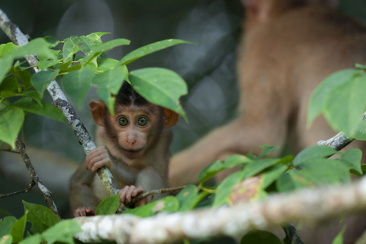 Macaque à Bornéo, Malaisie