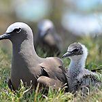 Noddis bruns (Anous stolidus) ou macouas