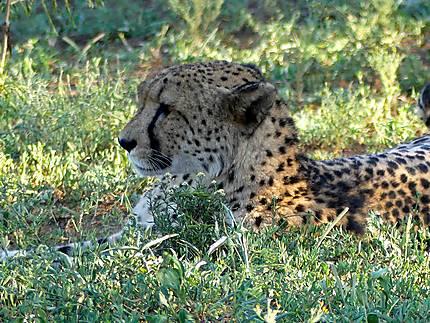 Léopard - Réserve de Zulu Nyala