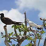 Sterne blanche et noddi brun, île aux cocos