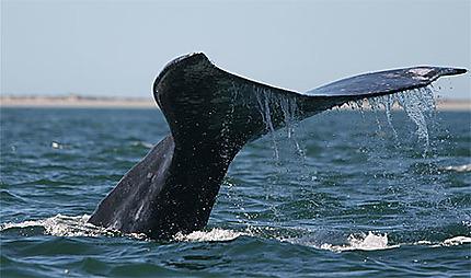 Baleine grise en plongée