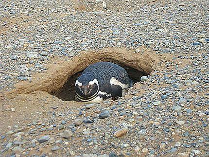 Manchot dans son nid