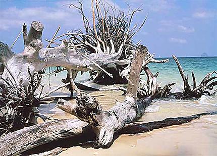 Arbre mort sur plage de rêve