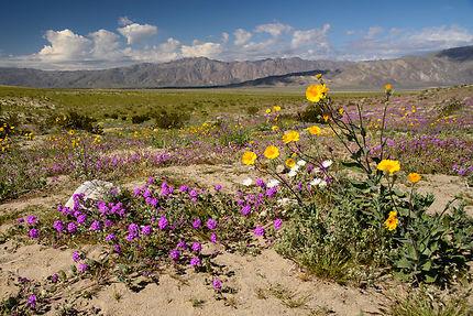 Flower bloom, Anza-Borrego Desert State Park