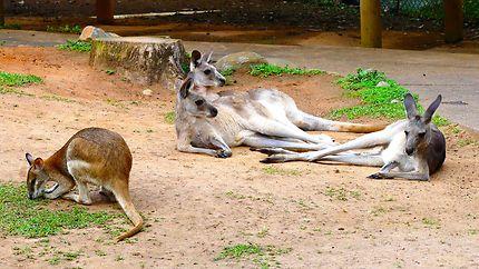 Kangourous - Rainforestation Nature Park Kuranda