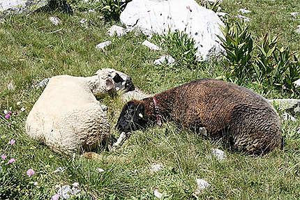 Dodo de moutons