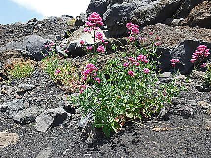 Fleur de volcan