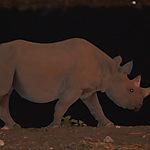 Rhino à Etosha