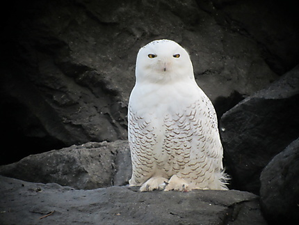 Harfang des neiges (Bubo Scandicus)