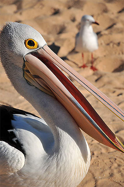 Pélican australien